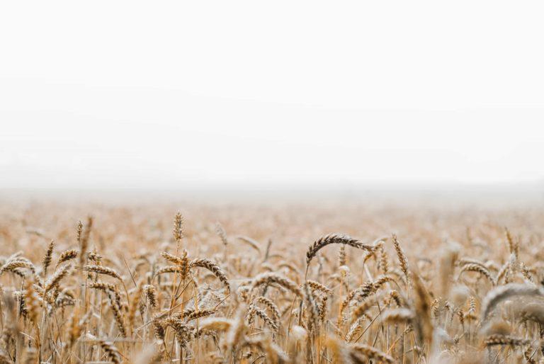 Wheat in a field.